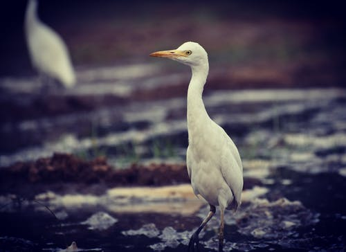 Imagine de stoc gratuită din animal, bovine egret, egretă, faună sălbatică