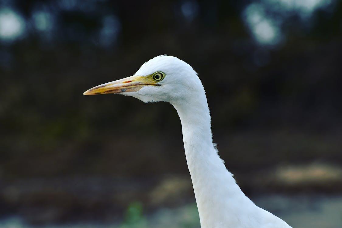 большая белая цапля, глаз, дикая природа