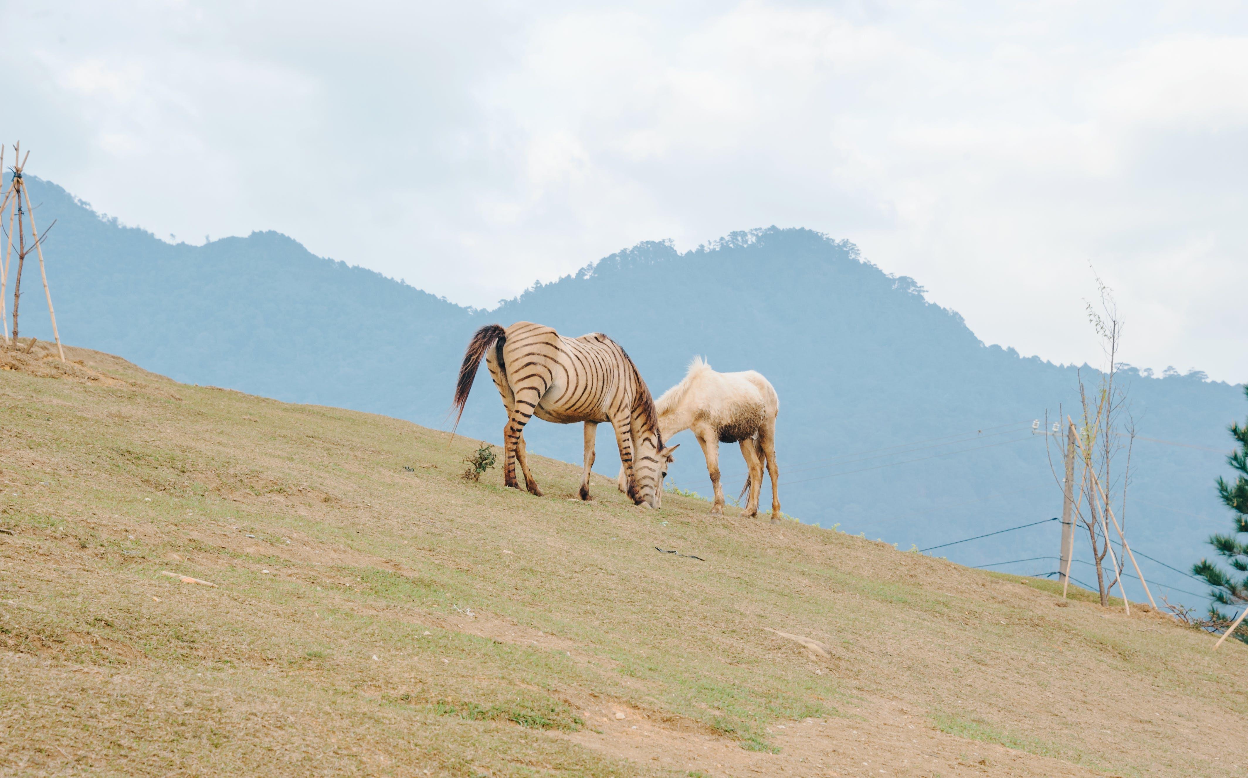 Two Brown Zebra on Green Grass Field