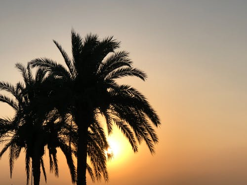 Free stock photo of evening sun, golden, morning sun, palm trees