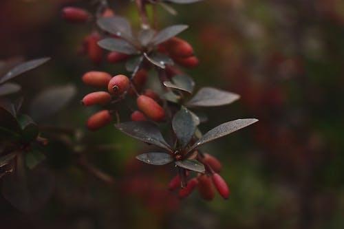 Immagine gratuita di frutti di bosco, impianto, primo piano, ramo