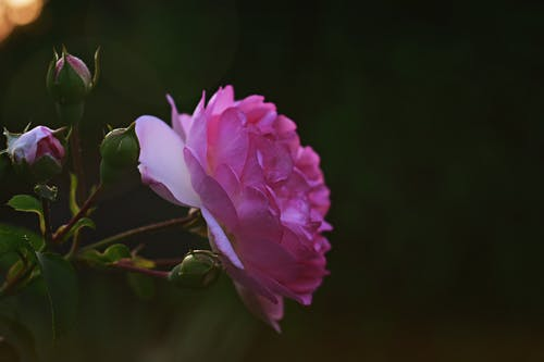 Selective Focus Photography Of Pink Flower In Bloom