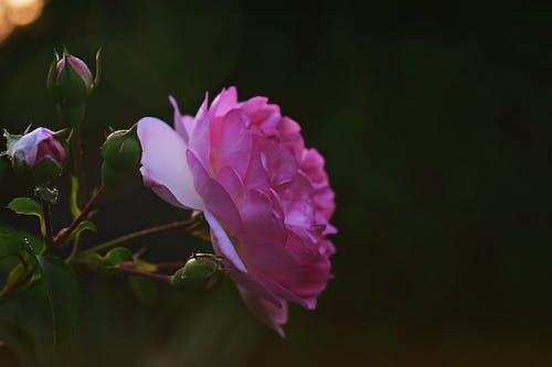 Безкоштовне стокове фото на тему «бутони, зростання, квітка, макрофотографія»