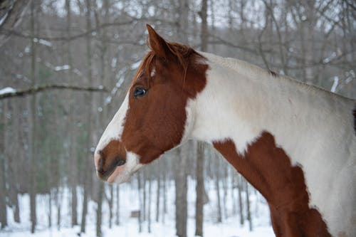 Free stock photo of horse, winter