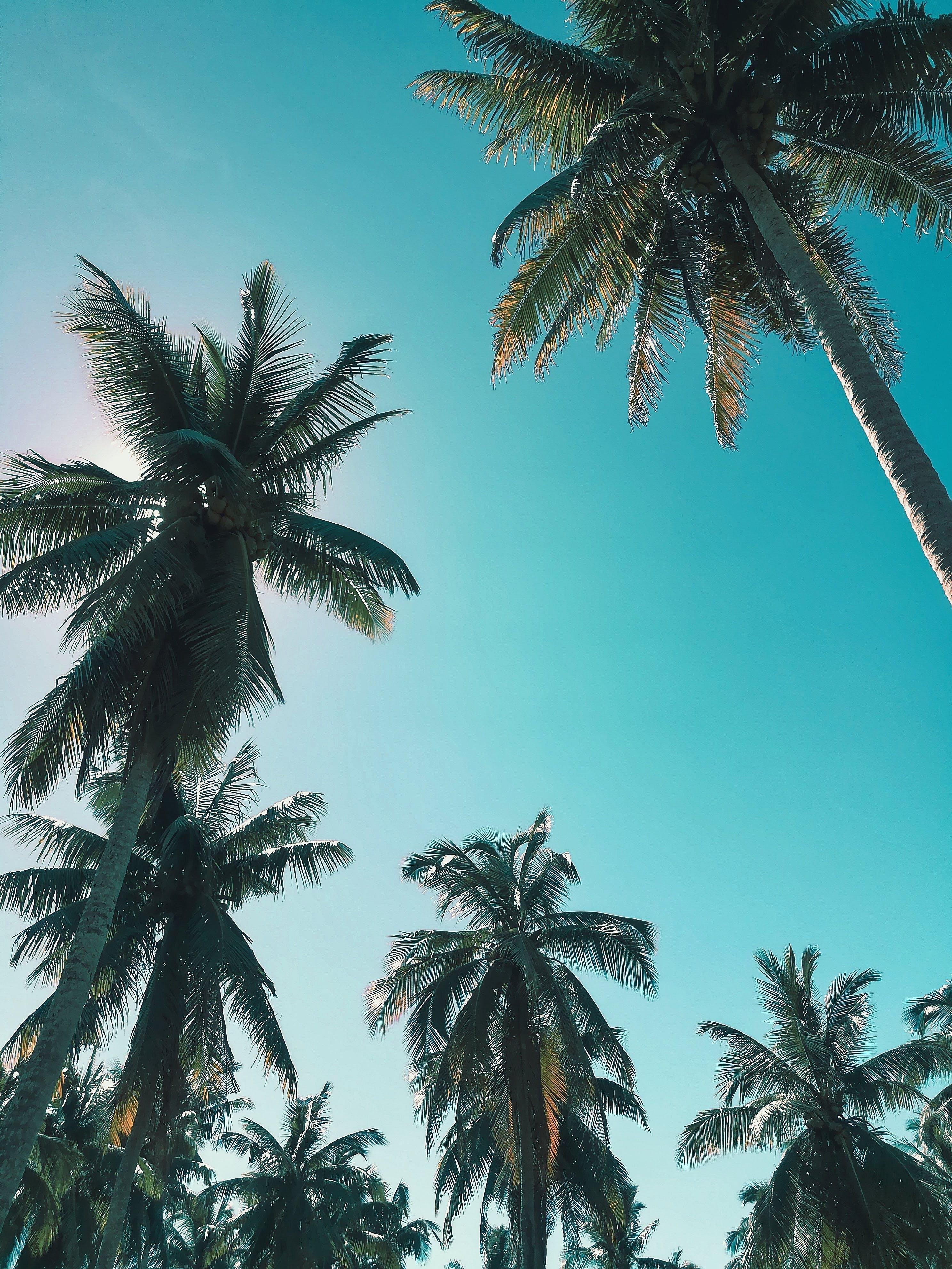 Kostenloses Stock Foto zu aufnahme von unten, bäume, kokosnussbäume, palmen