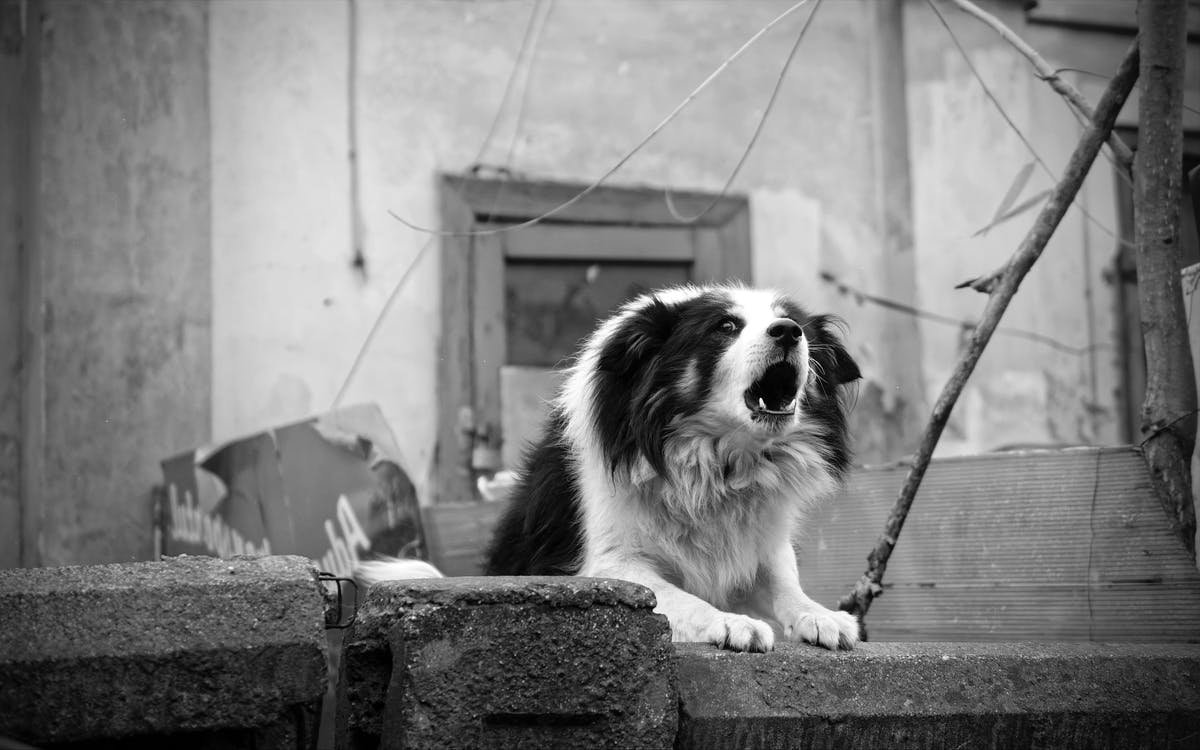 Monochrome Photo of Border Collie Barking