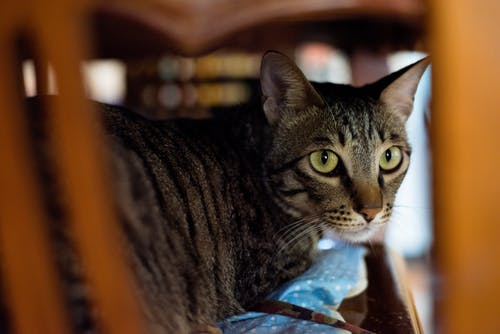 Close-up Photography of Gray and Black Tabby Cat