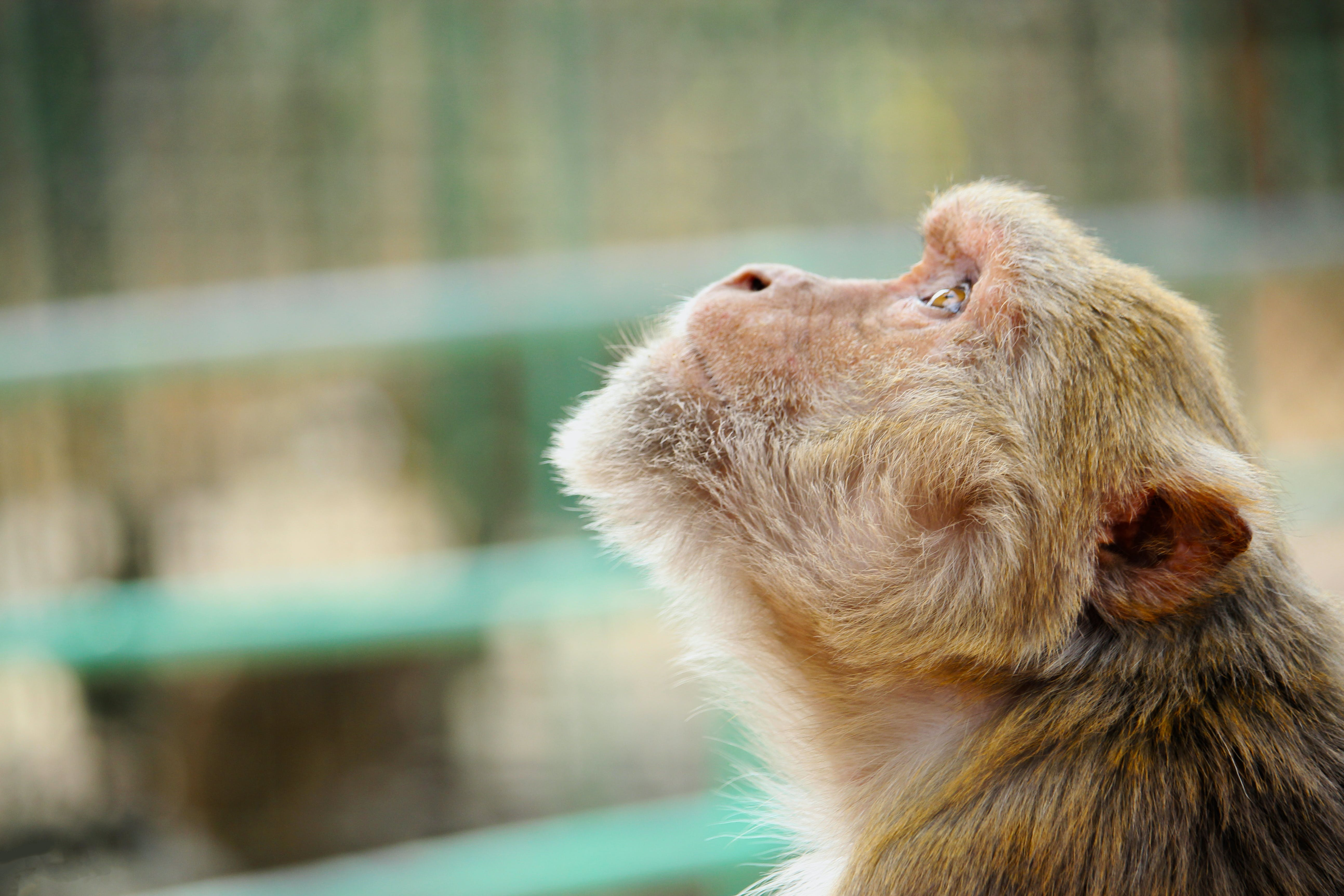 Photo of Brown Monkey Looking Up
