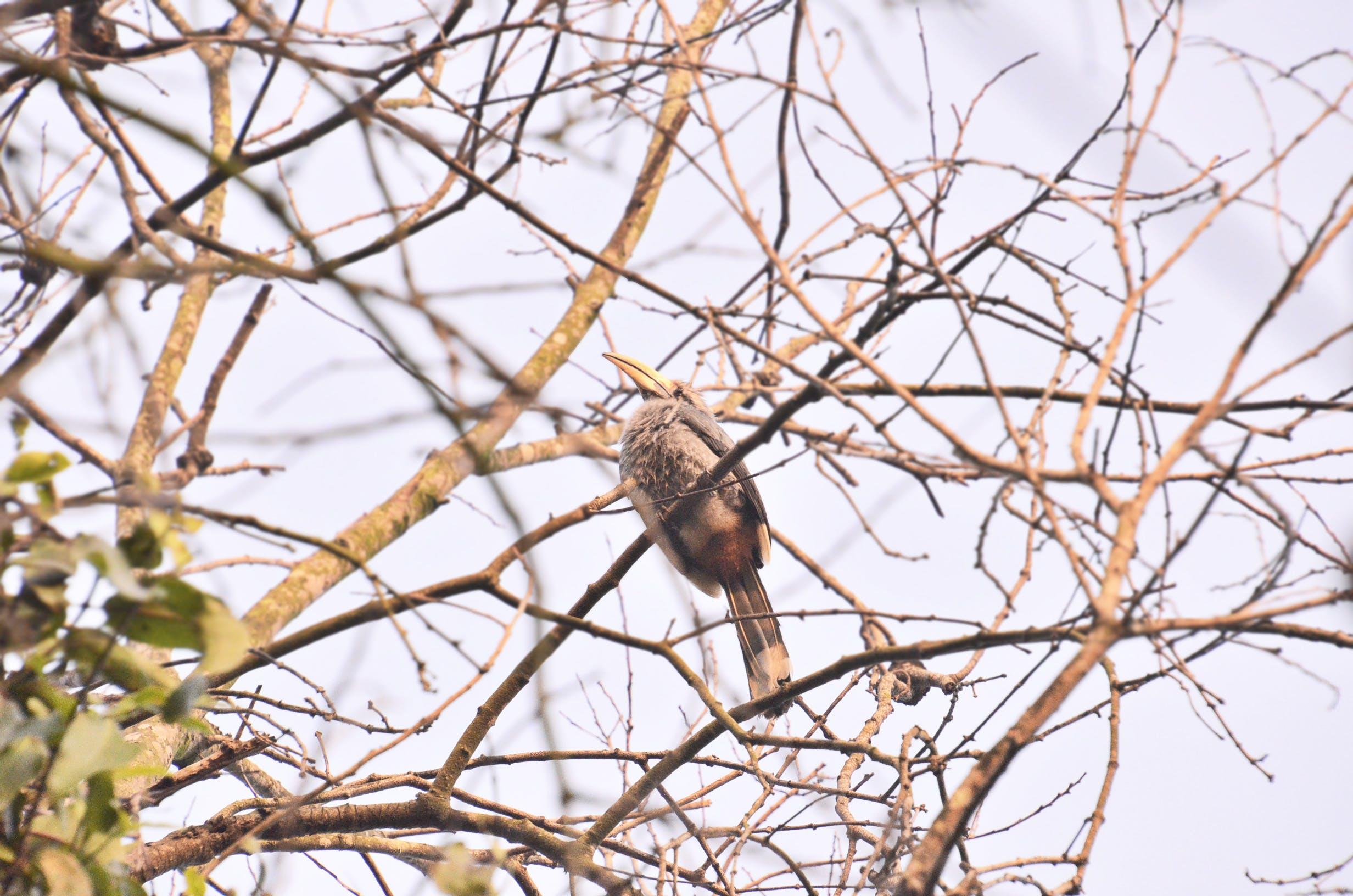 Free stock photo of bird, dawn, hornbill, malabar