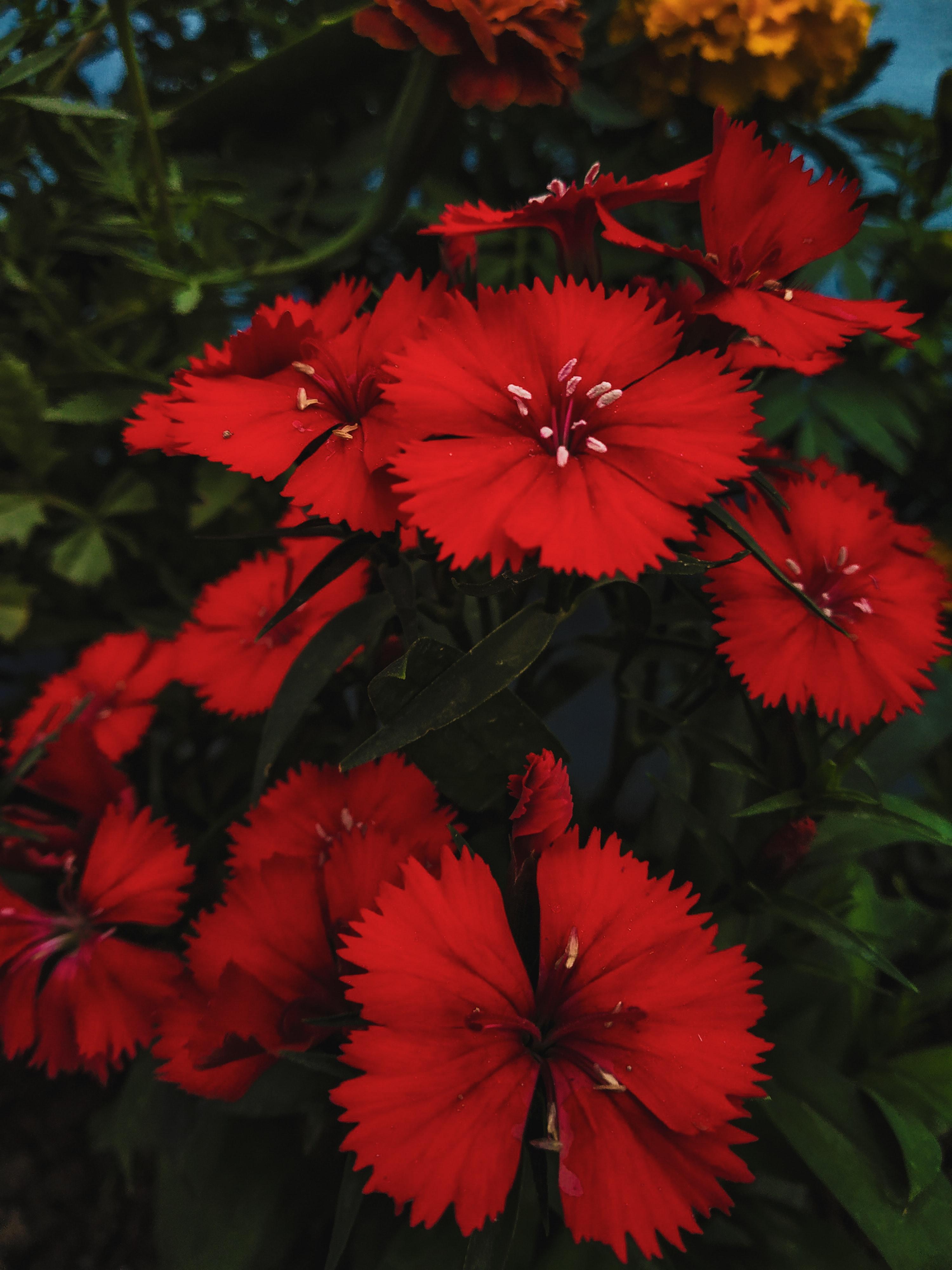 Unduh 960 Wallpaper Bunga Anyelir HD Terbaru