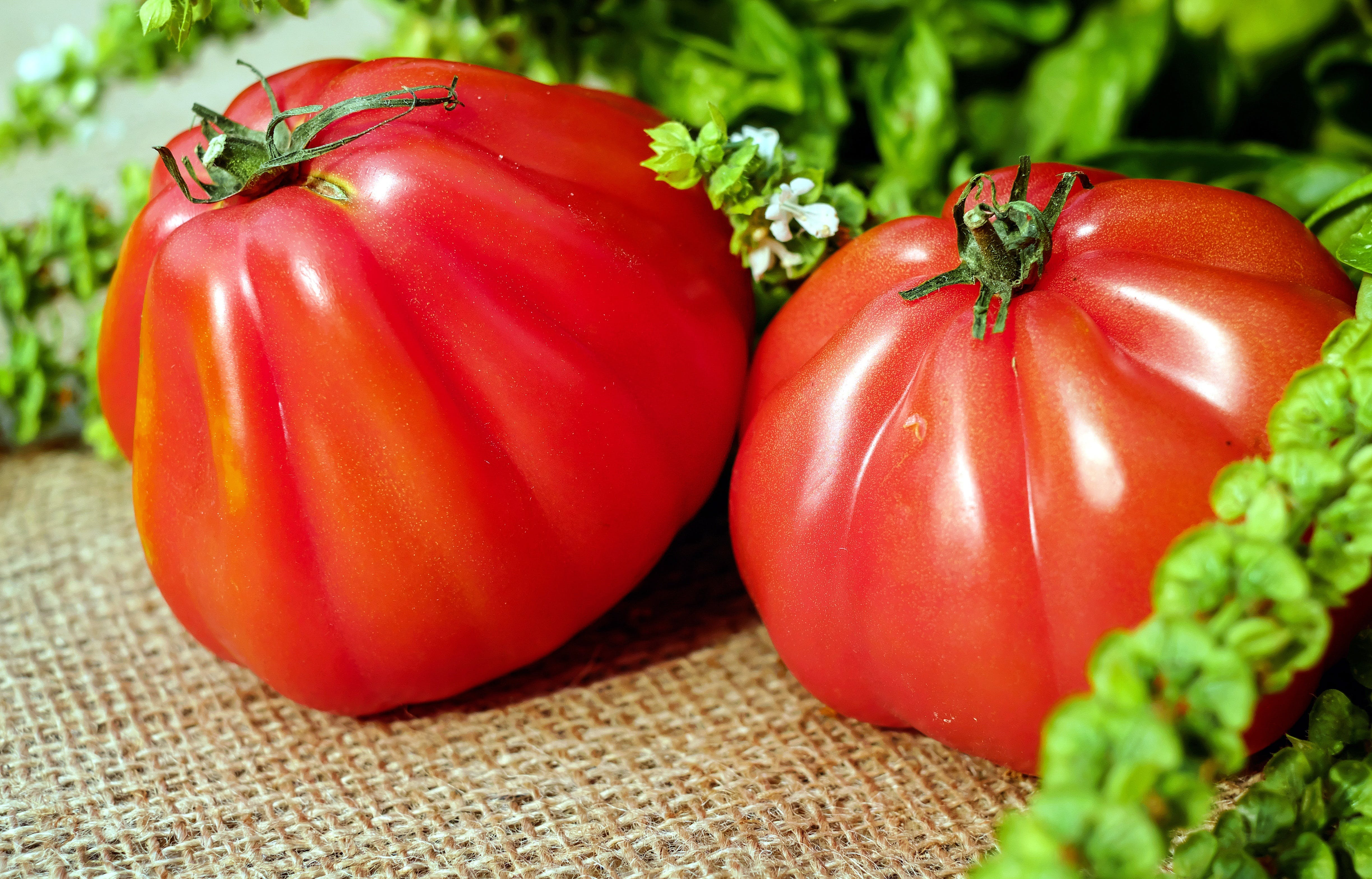 Two Red Orange Tomato Near Green Leaves