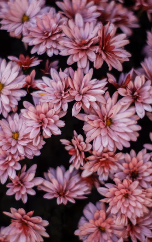 Pink and White Flowers in Black Background