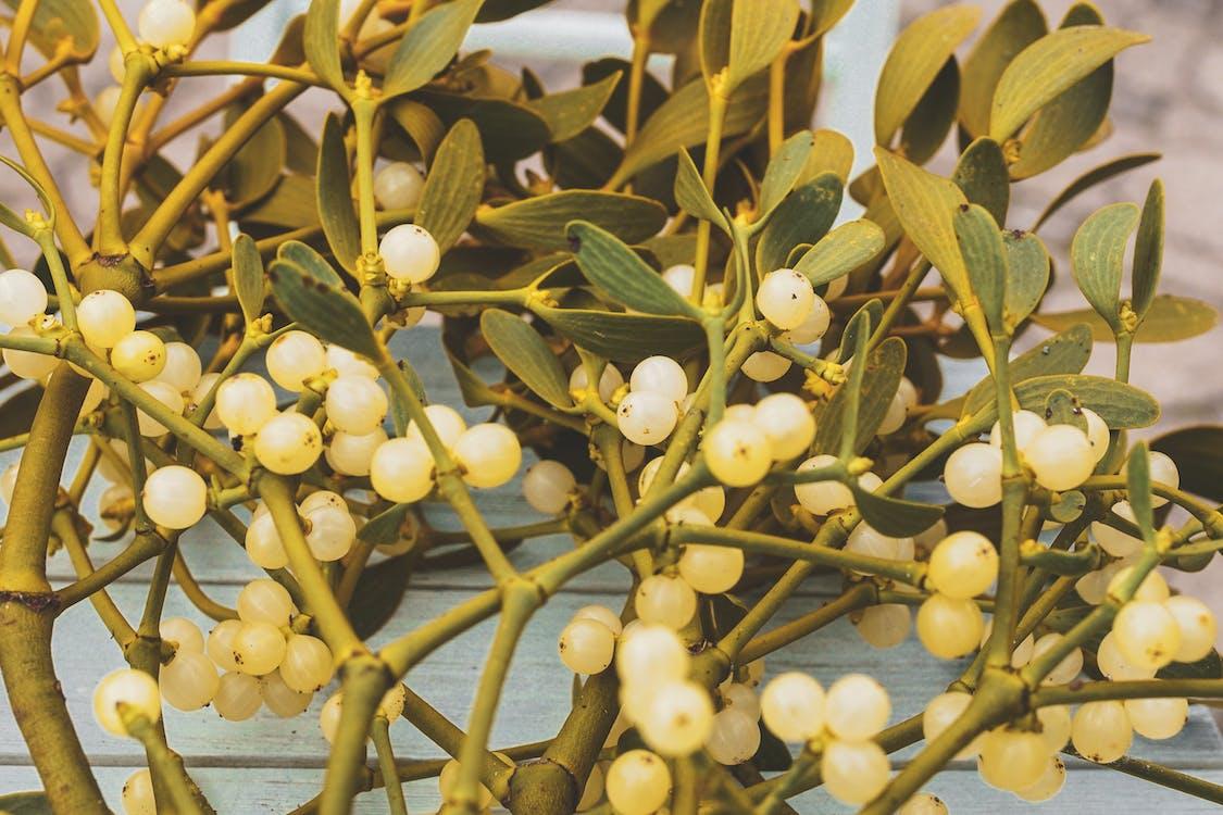 anggur-angguran, buah, cabang