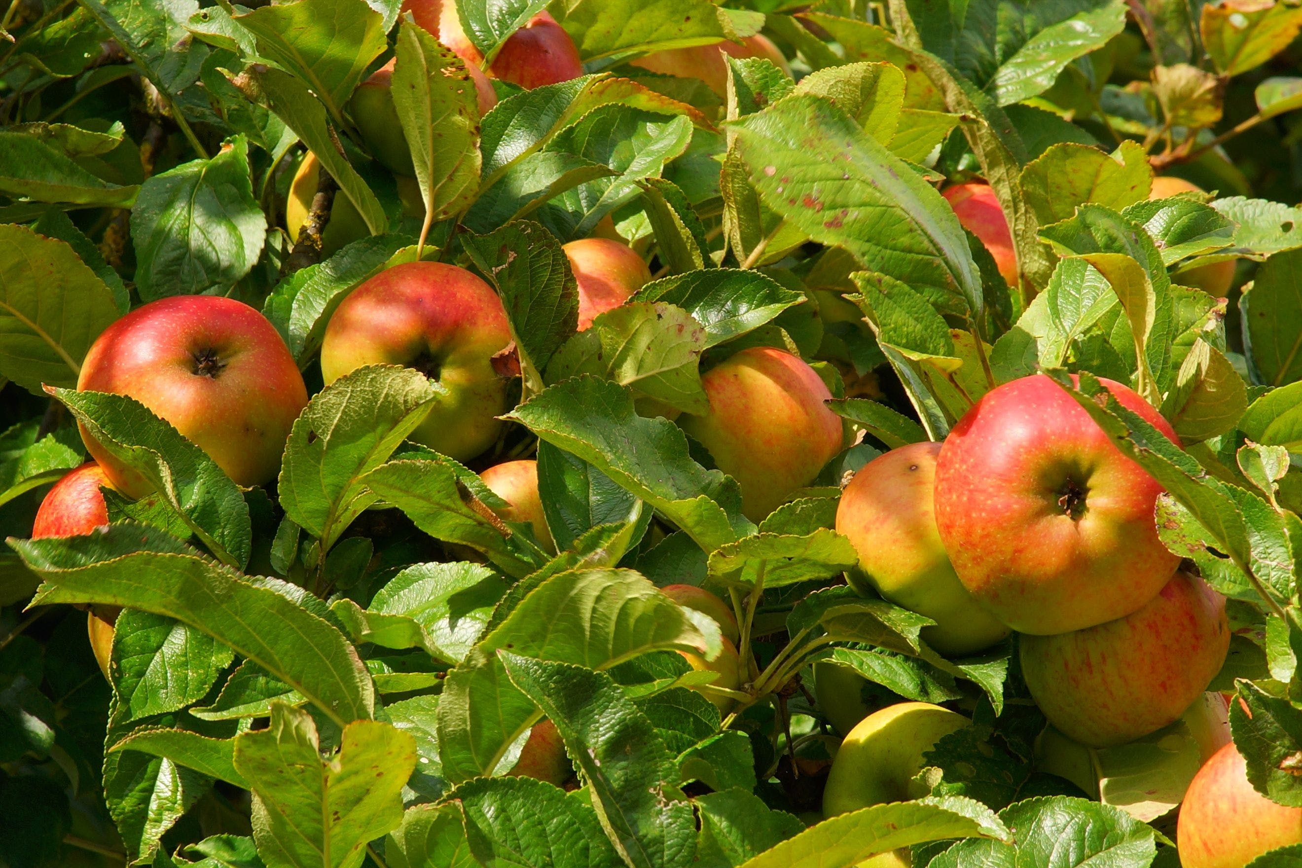 Free stock photo of food, healthy, apple, garden