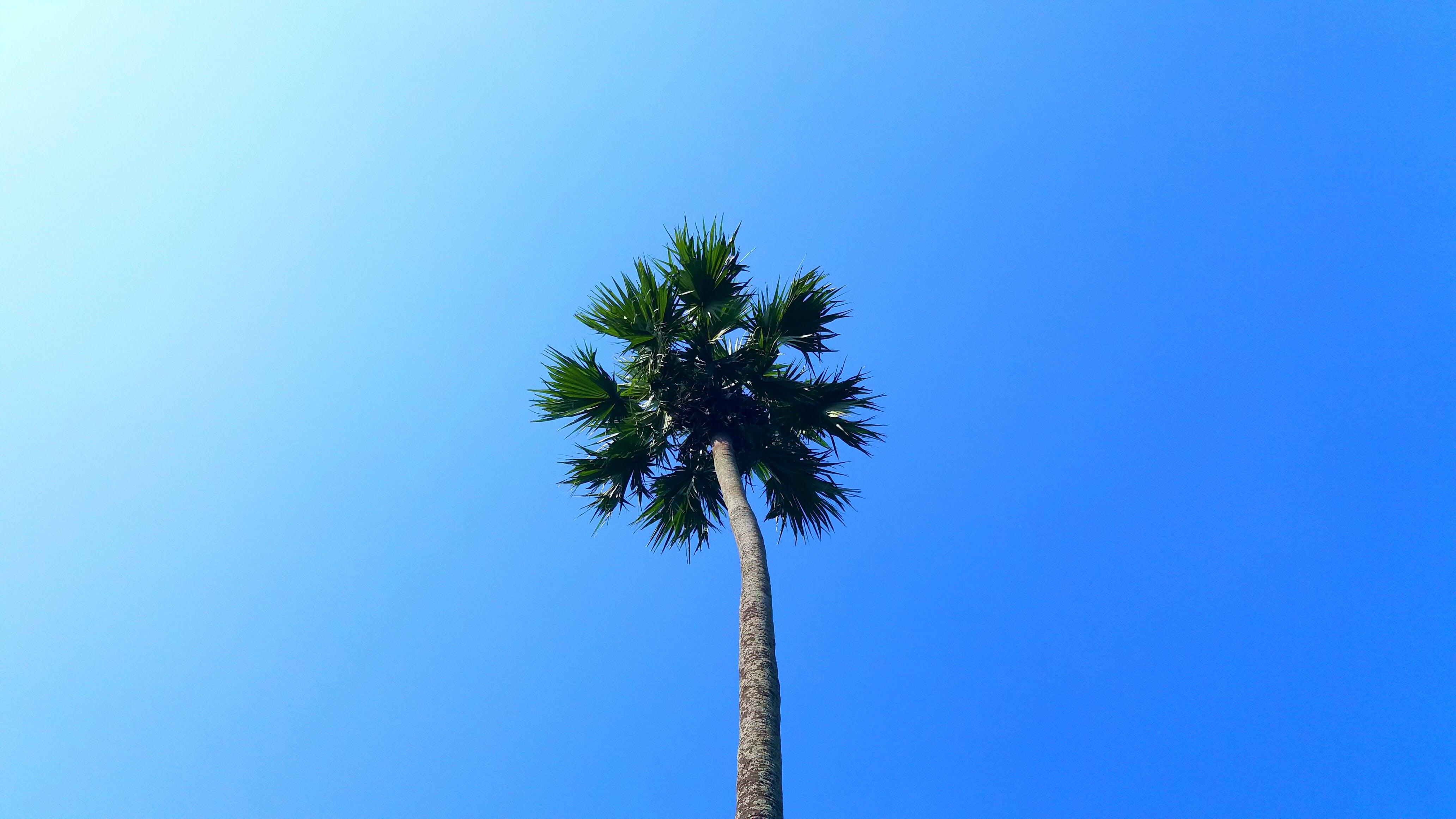 Безкоштовне стокове фото на тему «блакитне небо, дерево, зростання, Кокосова Пальма»