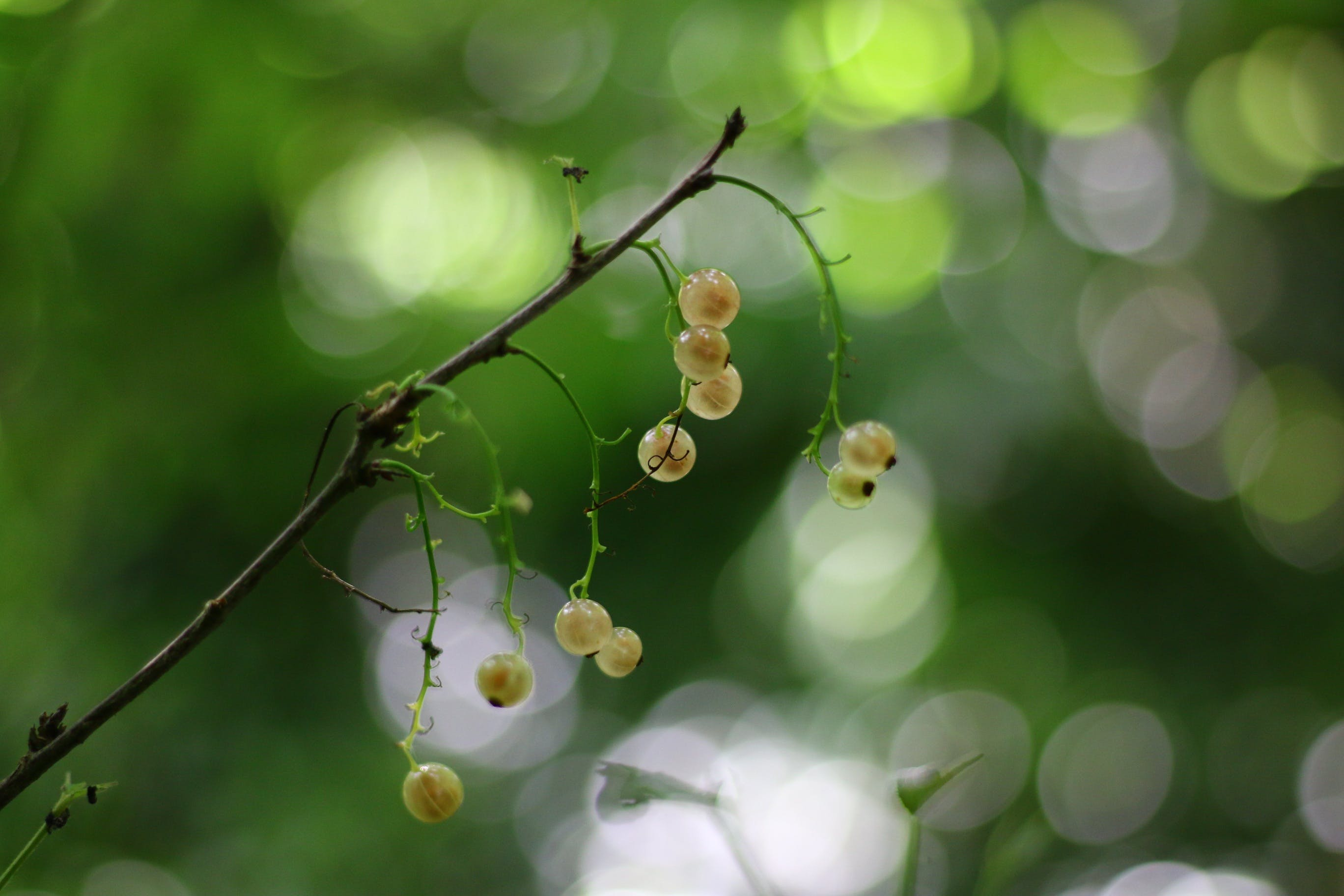 Free stock photo of nature, shrub, white, fruit