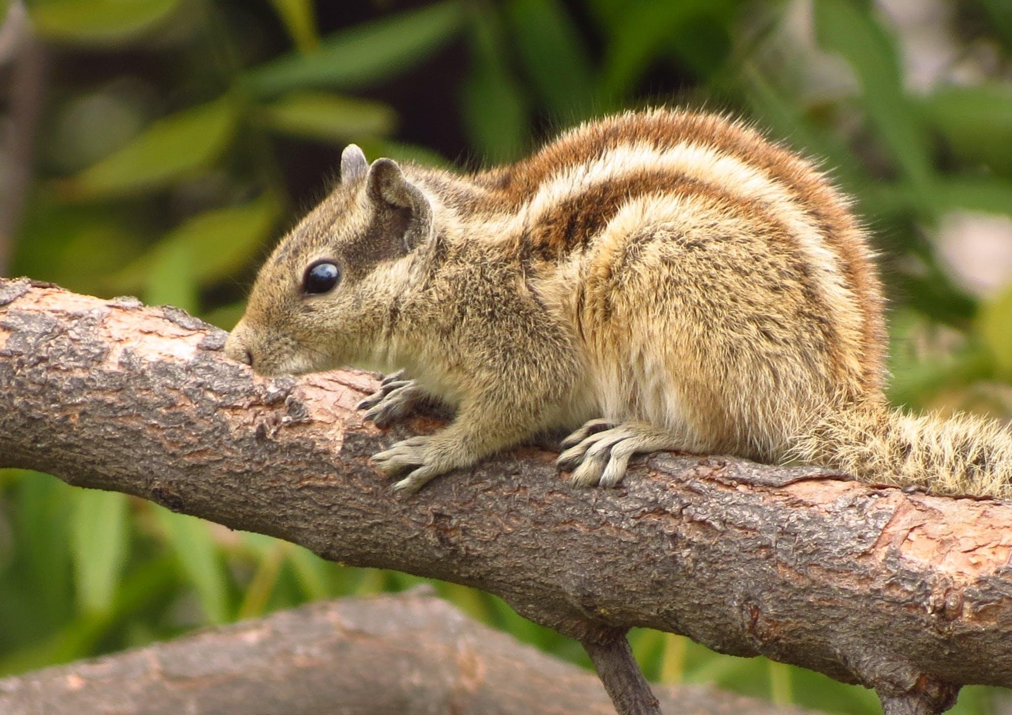 Brown Squirrel Facing Sideways