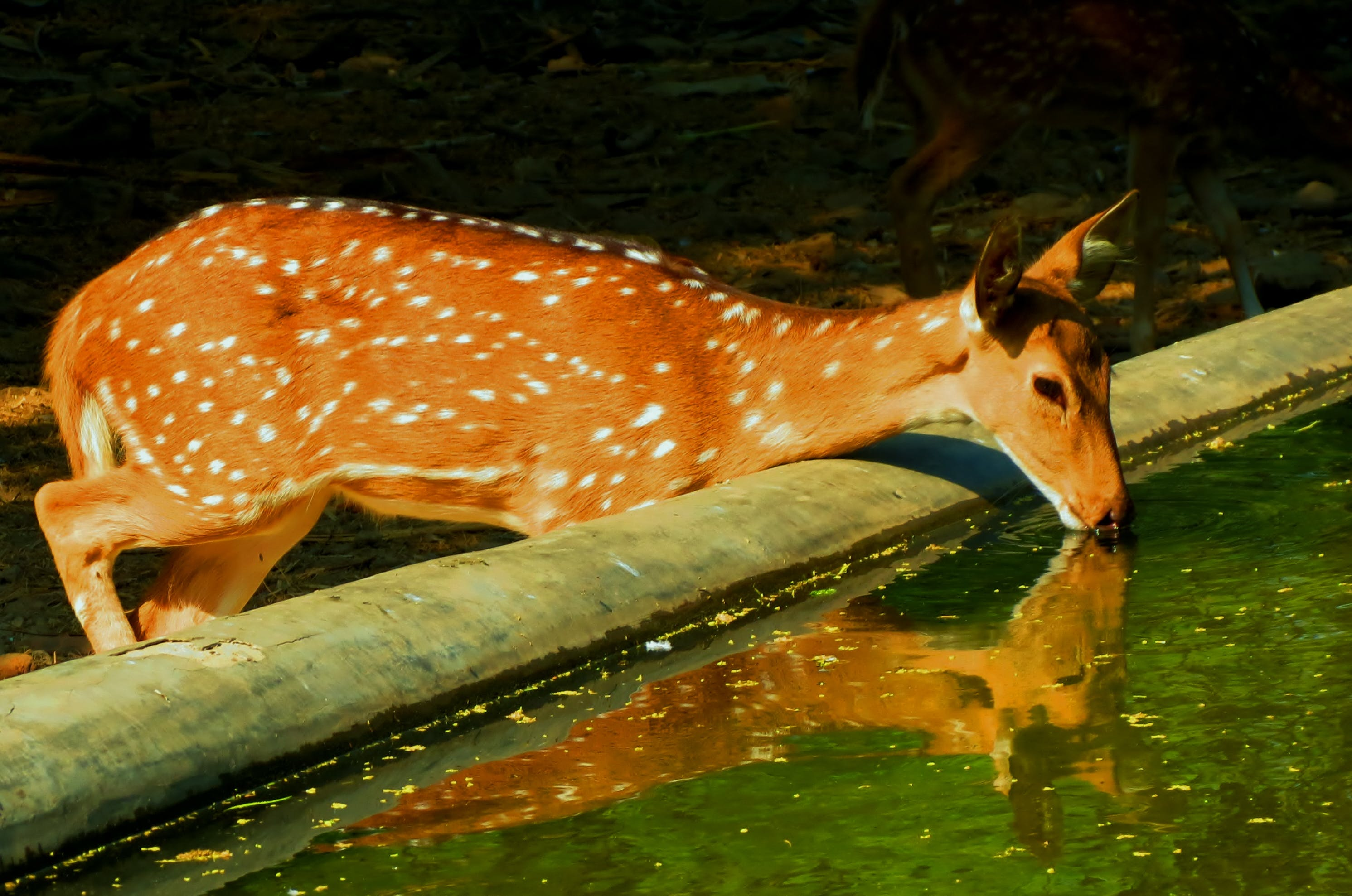 Free stock photo of spotted deer