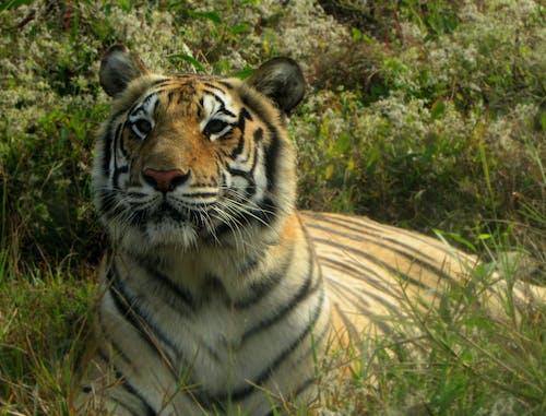 Imagine de stoc gratuită din tigrul din bengalul regal