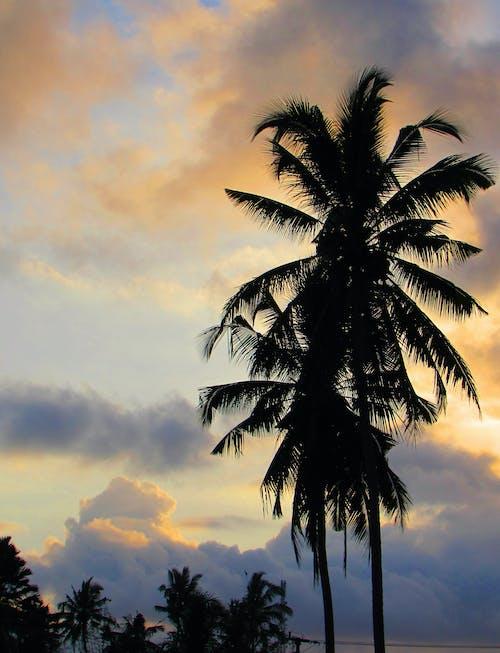 Imagine de stoc gratuită din apus, palmier