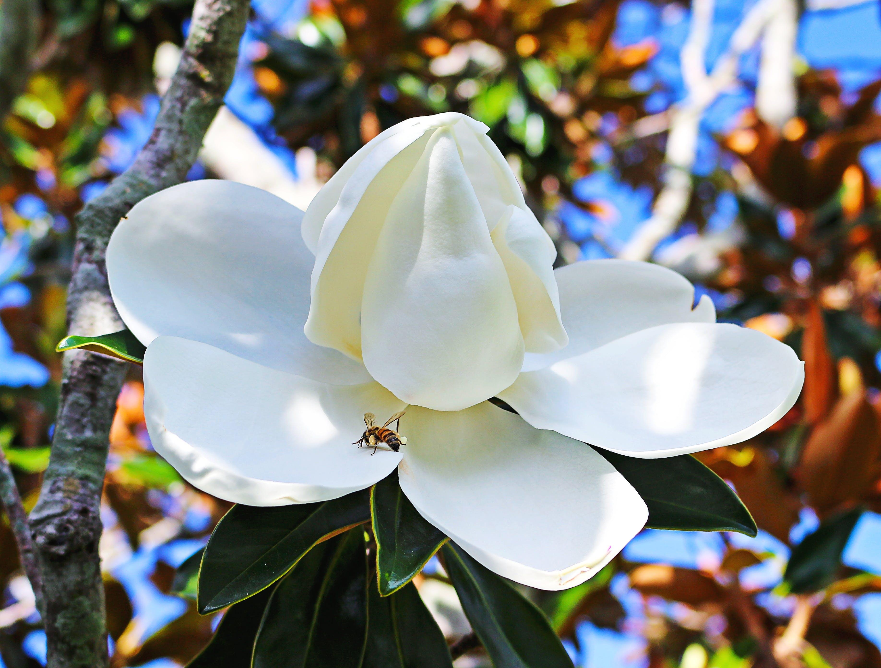 Free stock photo of nature, tree, flower, magnolia