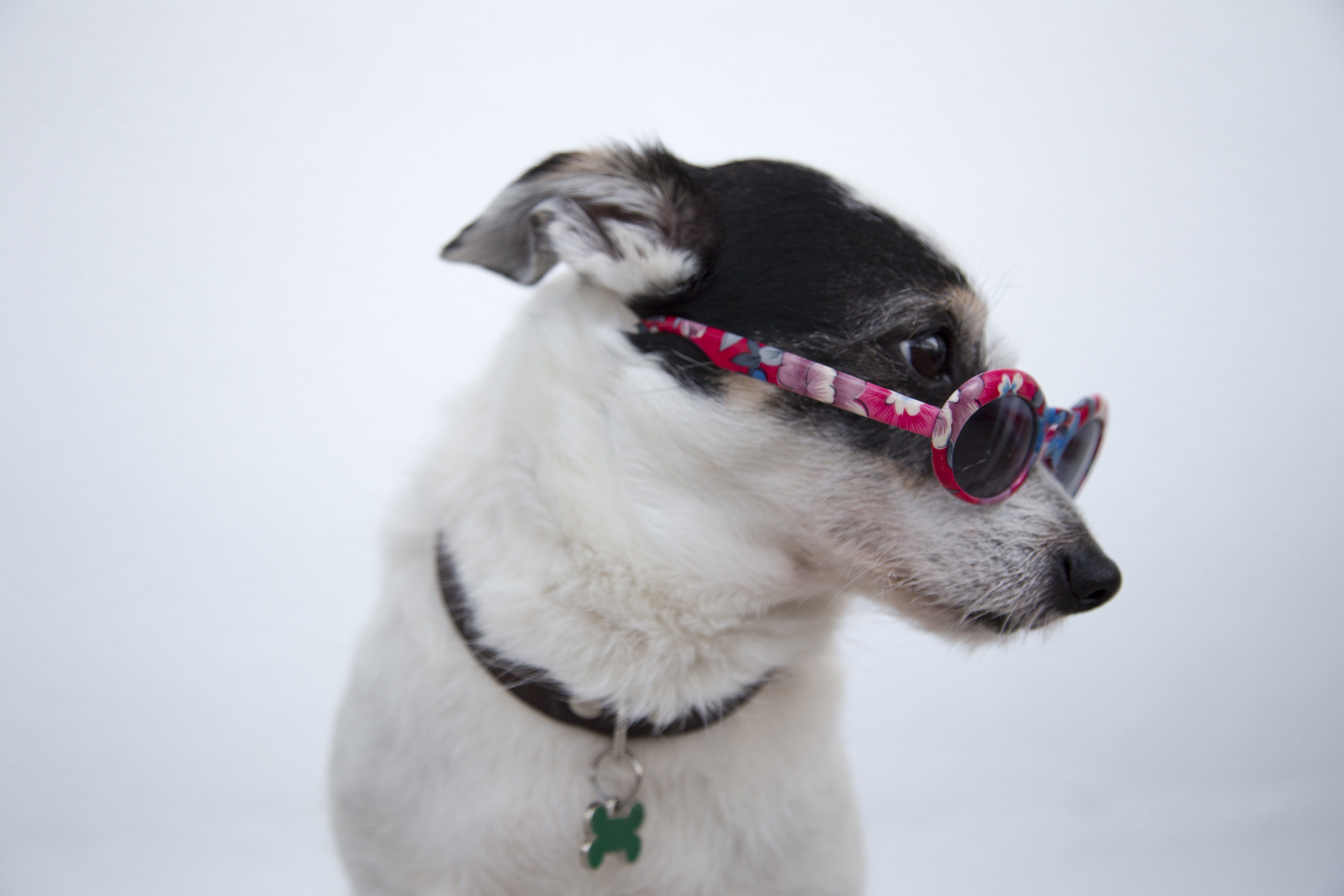 Close-Up Photo Of Dog Wearing Sunglasses