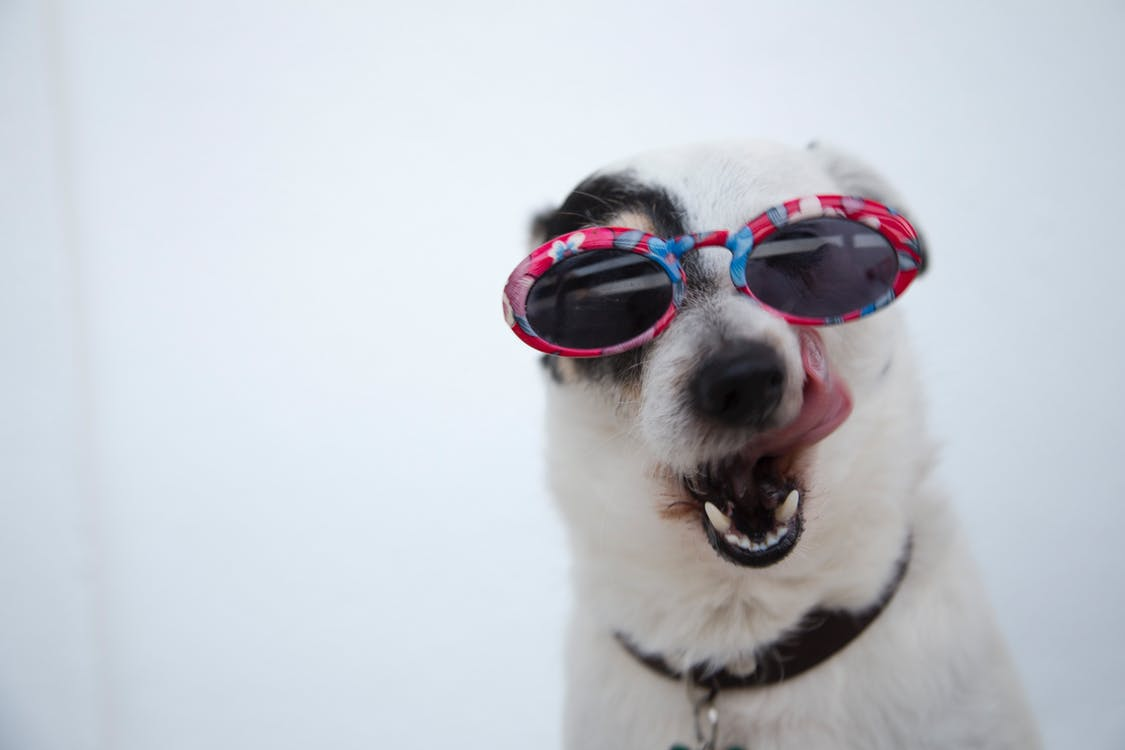 Close-Up Photo of Dog Wearing Sunglasses