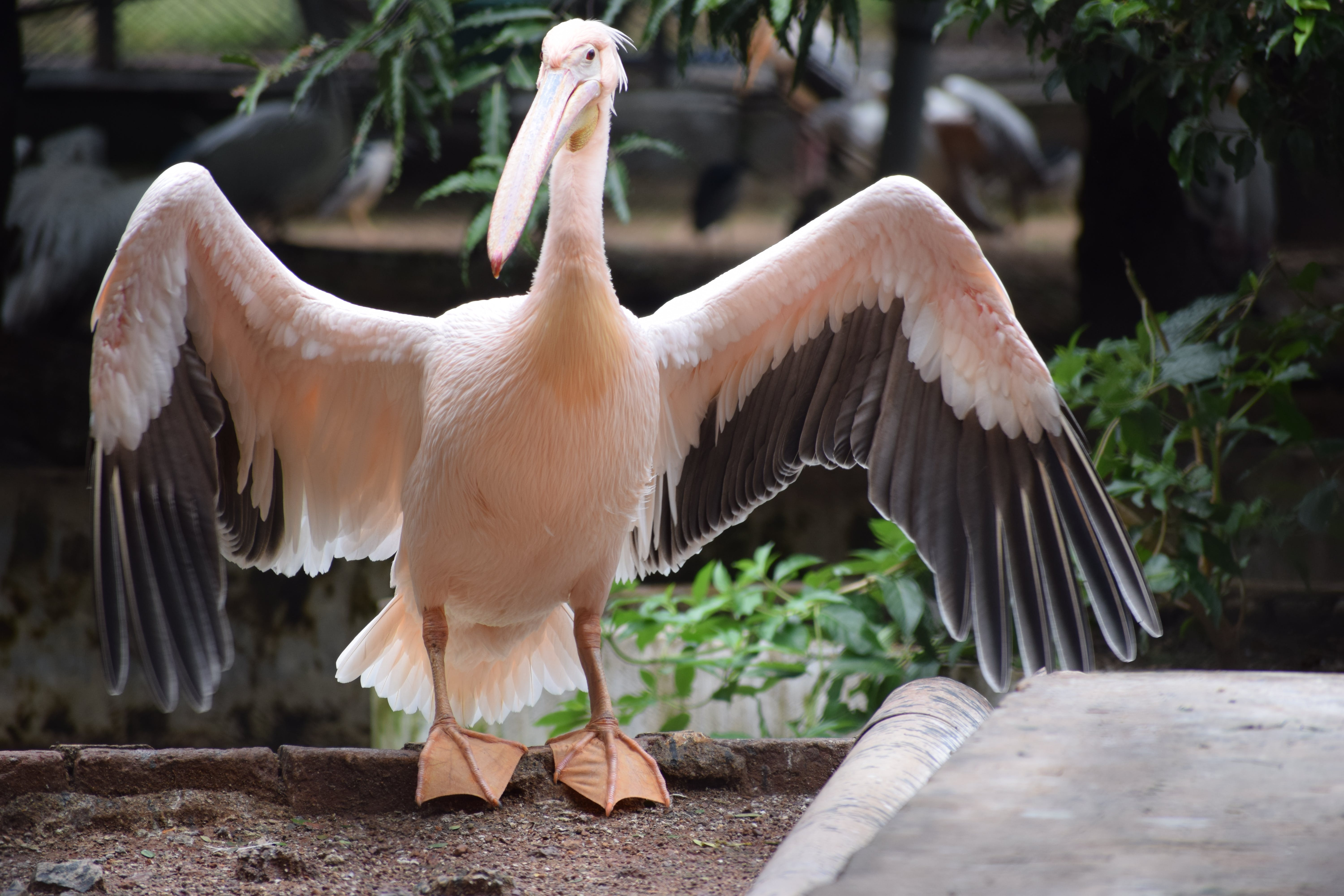 About to Fly White Pelican