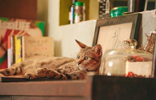 Ilmainen kuvapankkikuva tunnisteilla eläin, hylly, kissa, kotieläin