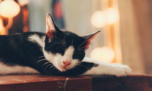 Gratis stockfoto met aanbiddelijk, beest, huisdier, kat