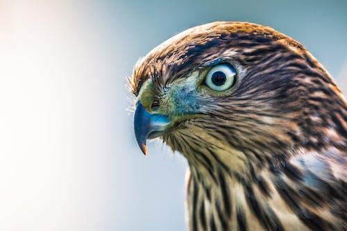 Immagine gratuita di animale, animale selvatico, concentrarsi, falco