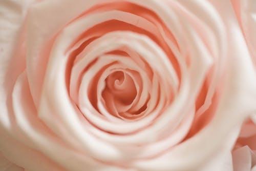 Foto d'estoc gratuïta de flor rosa, foto macro, fotografia macro, macro