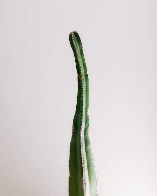 Foto d'estoc gratuïta de cactus, color, creixement, créixer
