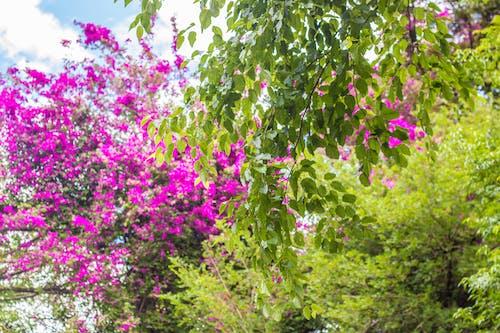 ピンクの花, フラワーズ, 夏, 春の木の無料の写真素材
