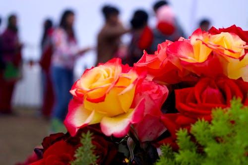 玫瑰 的 免费素材照片