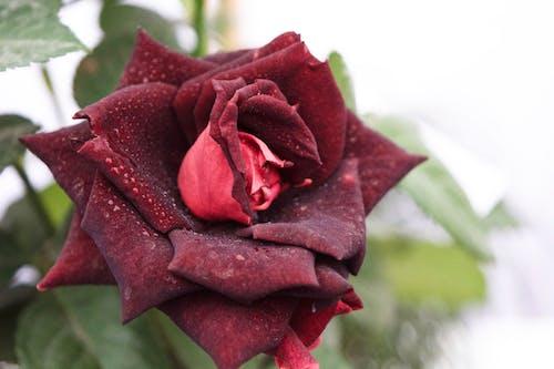 紅玫瑰 的 免费素材照片