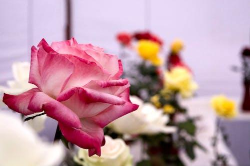 粉紅玫瑰 的 免费素材照片