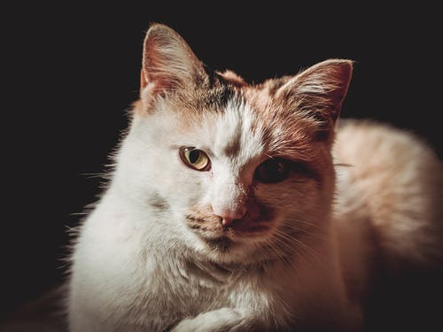 Close-Up Photo of Calico Cat