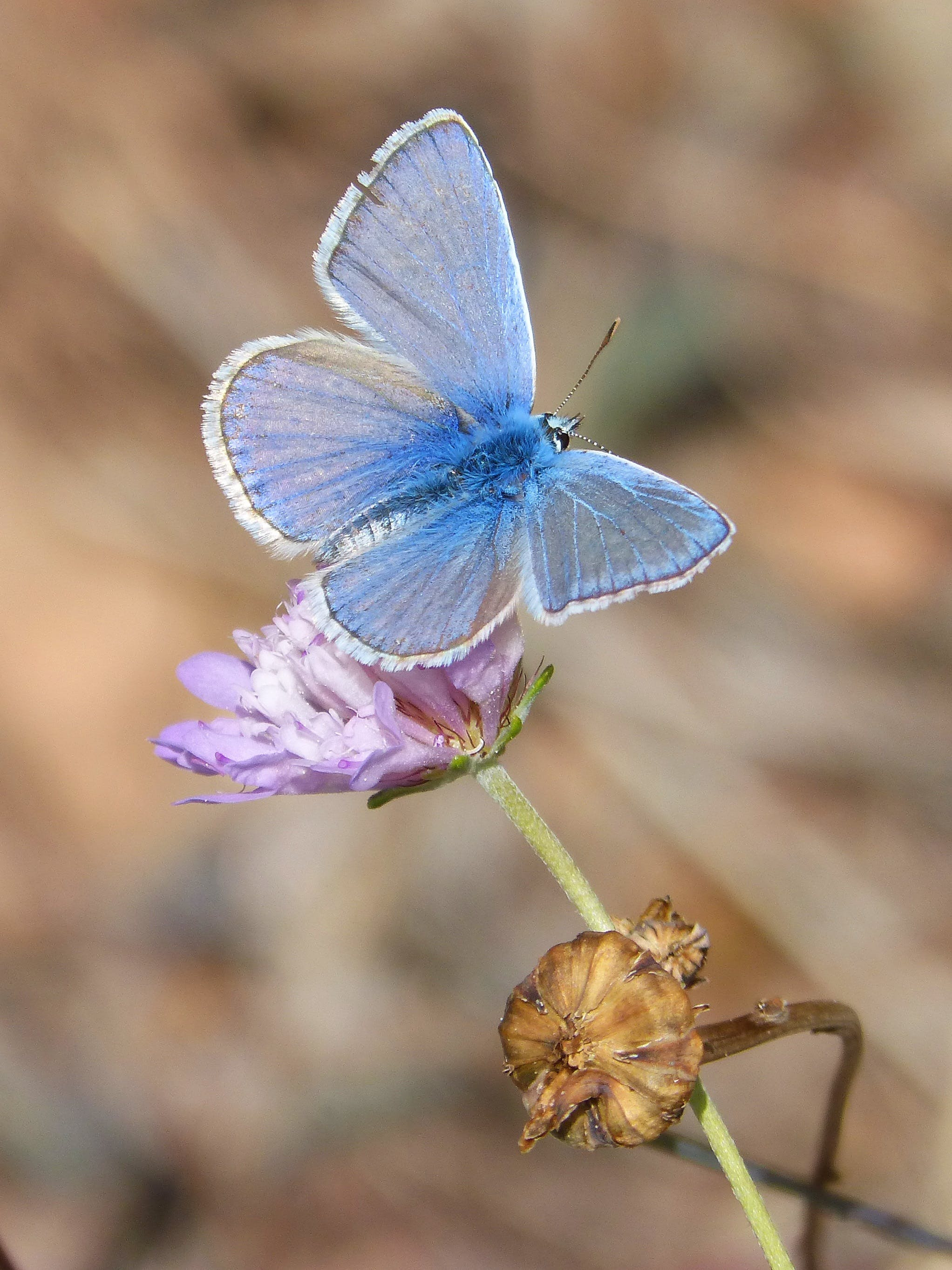 Free stock photo of butterfly, wild flower, polyommatus icarus, blue butterfly