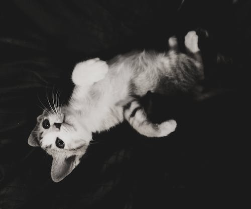 Free stock photo of black and white, black cat, cat, cats