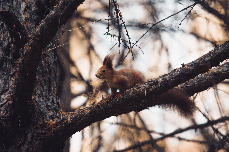 Kostenloses Stock Foto zu äste, baum, draußen, eichhörnchen