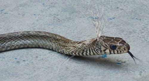 ghoda snake 的 免费素材照片