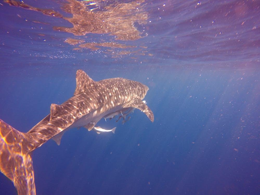 Photos gratuites de requin baleine