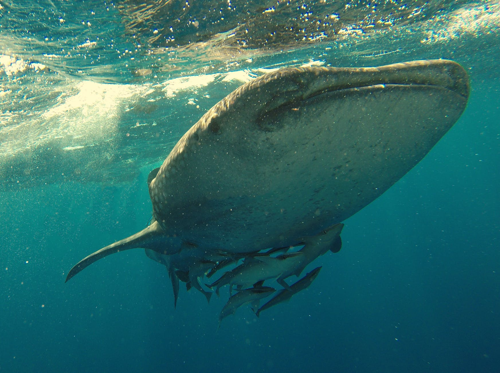 Photo of a humpback whale underwater