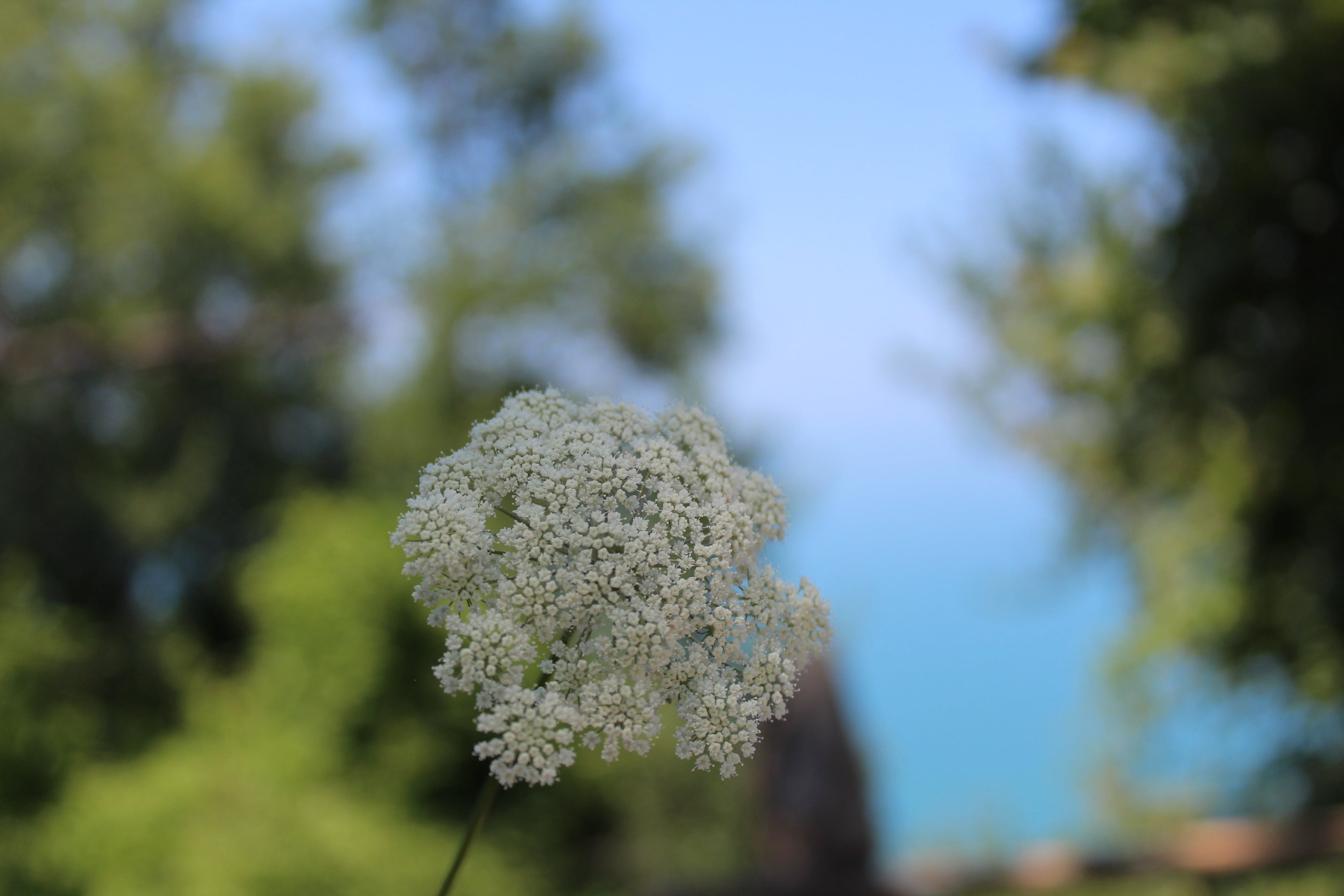 Free stock photo of blurred trees, flower, focus photography of white flower, white