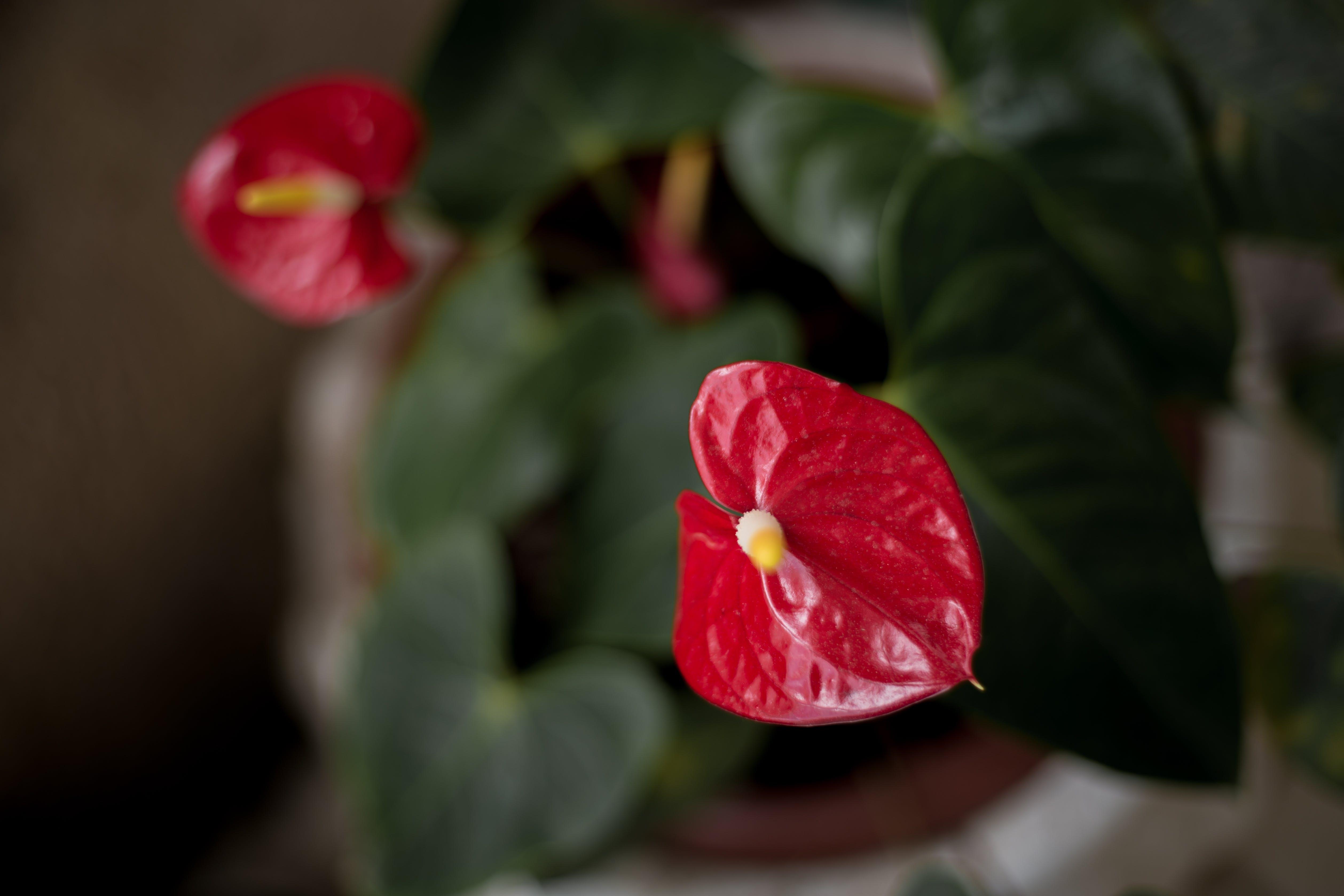 天性, 紅色, 綠色, 美麗的花朵 的 免費圖庫相片