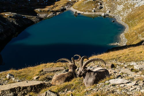 Two Mountain Goats Sitting on a Green Grass Covered Slope Near Blue Lake