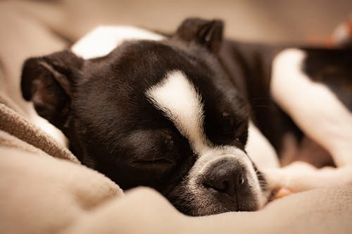Close-UP Photo of Black and White Boston Terrier Sleeping