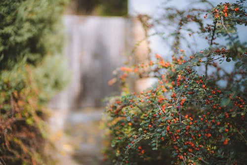 Bokeh Photography of Red Fruits Plant
