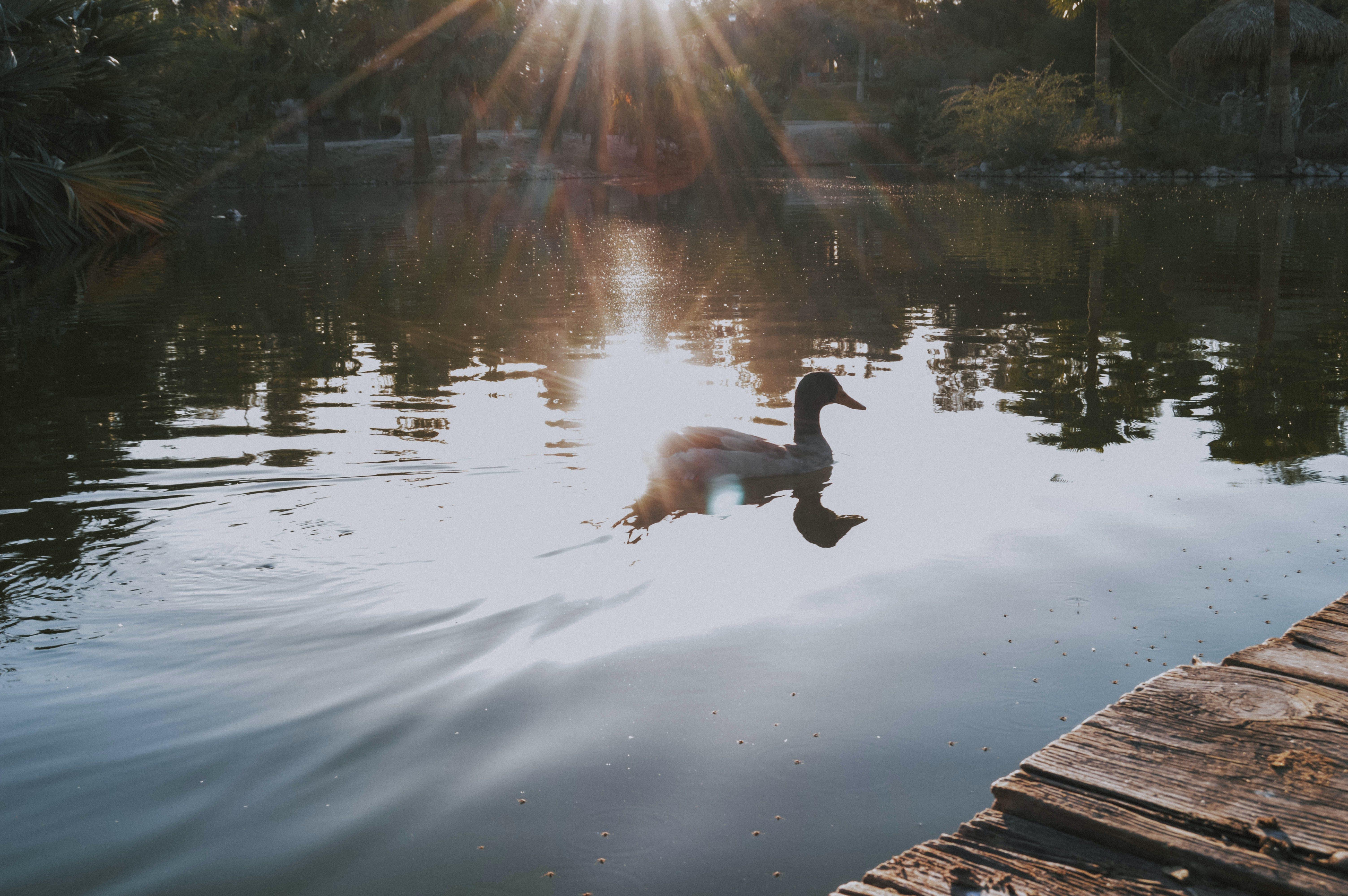 Free stock photo of animals, calm waters, duck bird, golde hour